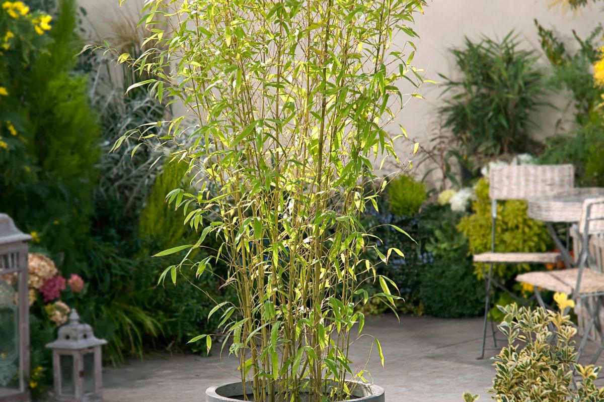Phyllostachys Aurea (Yellow Bamboo)