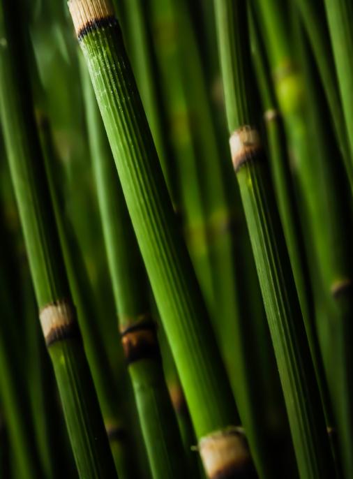 bamboo dorset